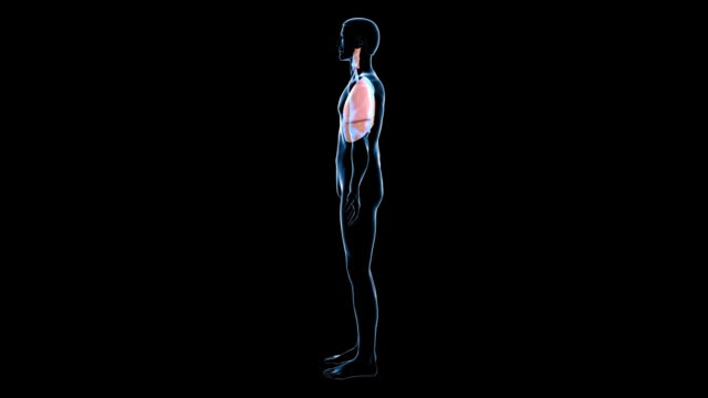 male respiratory system - trachea stock videos & royalty-free footage