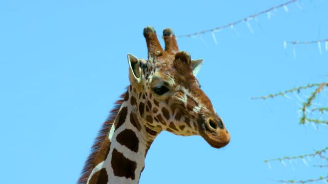 vídeos de stock, filmes e b-roll de male reticulated giraffes head samburu  kenya  africa - girafa