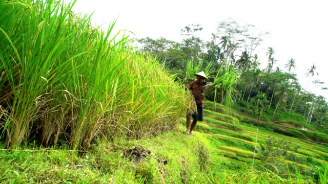 vidéos et rushes de male rice farmer carrying crops in baskets indonesia - bamboo plant