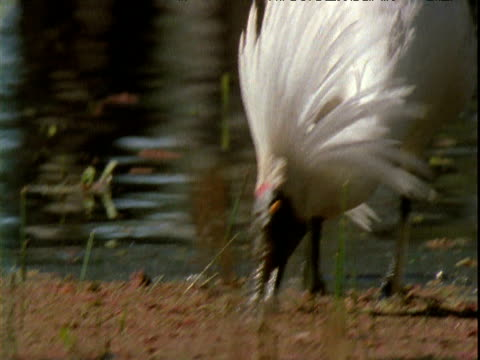 male royal spoonbill wades and forages in swamp, victoria, australia - animal's crest stock videos and b-roll footage