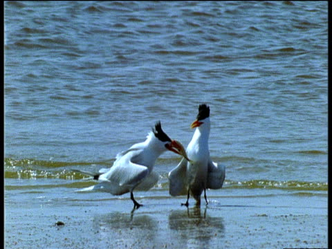 Male Royal Tern presents fish gift to female, Laughing Gull flies in and steals it, Central America