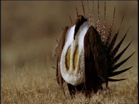 Male sage grouse displays chest pouches to females on prairie, California