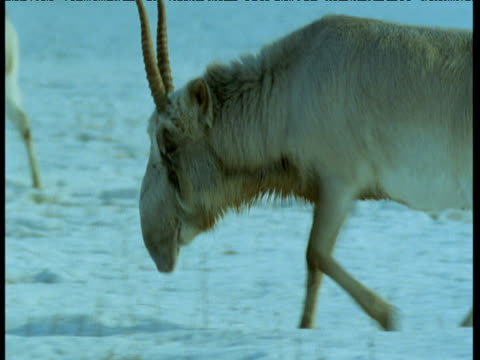 male saiga antelope as it trudges past in snow, central asia - antelope stock videos & royalty-free footage