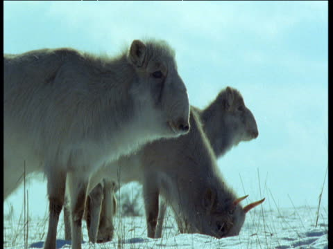 male saiga antelope joins females as they graze in snow, central asia - antelope stock videos & royalty-free footage