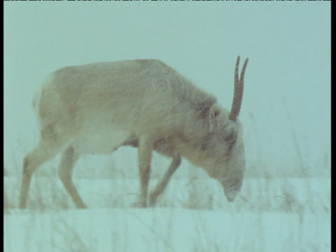 male saiga antelope trudges through blizzard, central asia - horned stock videos & royalty-free footage