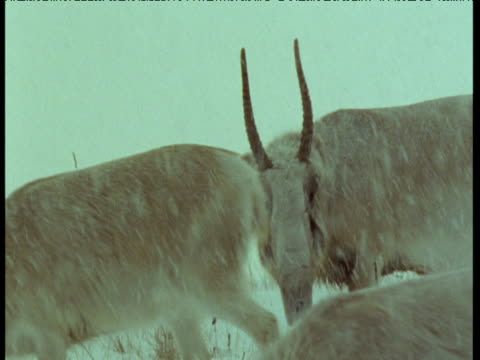 male saiga antelope watches his harem in blizzard, central asia - horned stock videos & royalty-free footage