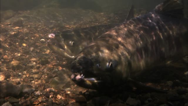 a male salmon turns away a school of cornet fish in the river - barbel stock videos and b-roll footage