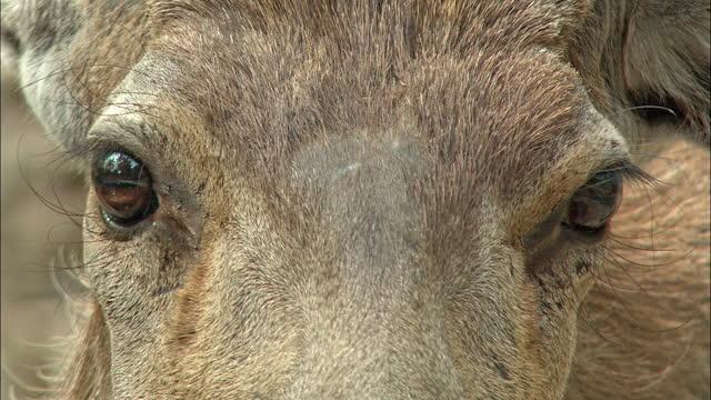 male sambar deer staring at camera, moving away - closeup shot - animal eye stock videos & royalty-free footage