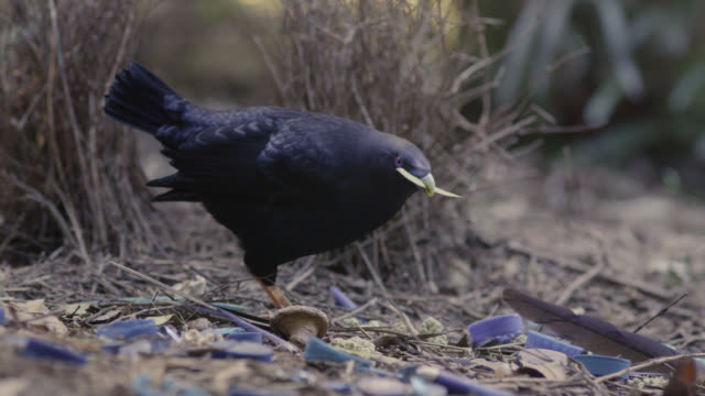 Male satin bowerbird (Ptilonorhynchus violaceus) arranges display objects outside bower, Australia