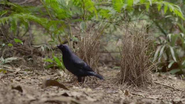 Male satin bowerbird (Ptilonorhynchus violaceus) leaves his bower, Australia