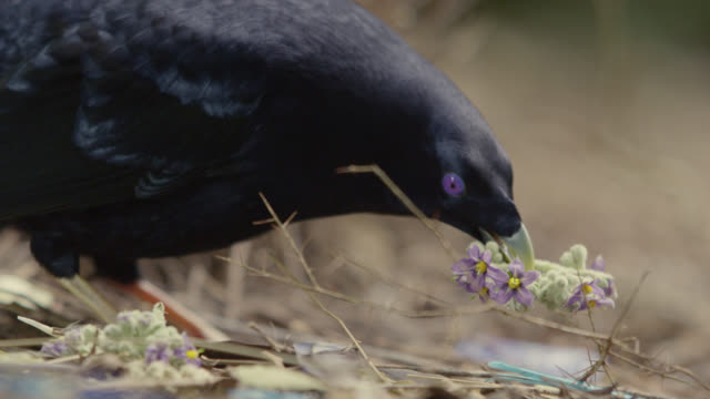 Male satin bowerbird (Ptilonorhynchus violaceus) performs dance outside bower, Australia