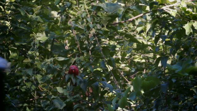 male scarlet finch perches in bushes - twig stock videos & royalty-free footage