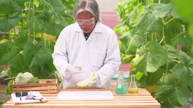 A male scientist examining the slice of muskmelon in the farm