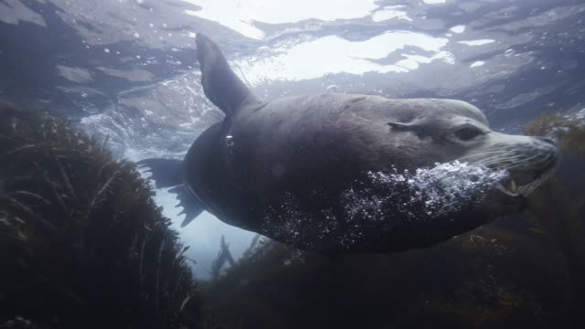 stockvideo's en b-roll-footage met male sea lion swims by open mouth - zeeleeuw