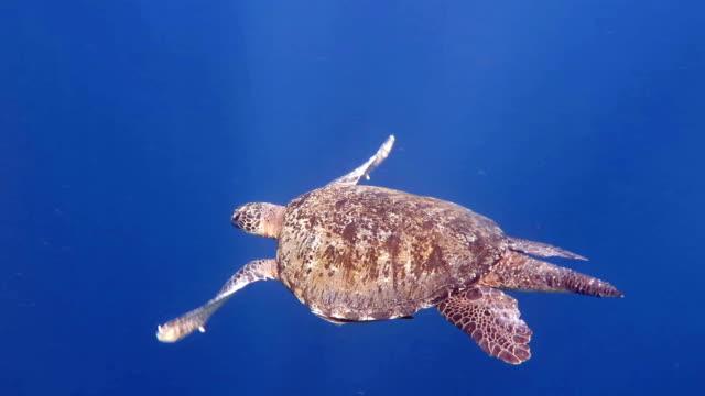 Male Sea Turtle, Sipadan, Malaysia