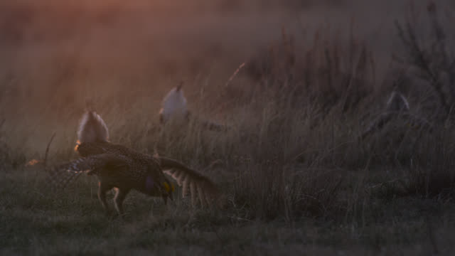 Male sharp tailed grouse (Tympanuchus phasianellus) display to females at sunset, Montana, USA
