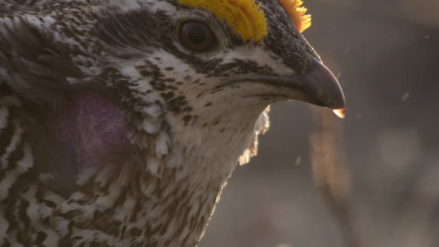 Male sharp tailed grouse (Tympanuchus phasianellus) display to females, Montana, USA