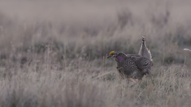 male sharp tailed grouse (tympanuchus phasianellus) display to females, montana, usa - djur som parar sig bildbanksvideor och videomaterial från bakom kulisserna