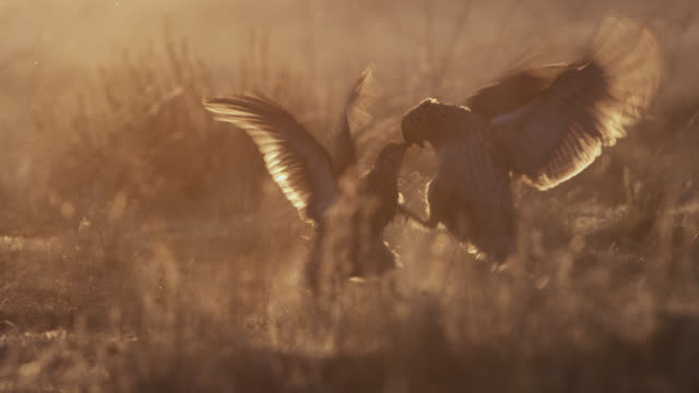 stockvideo's en b-roll-footage met male sharp tailed grouse (tympanuchus phasianellus) fight at sunset, montana, usa - parende dieren