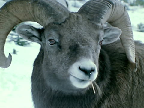 male sheep chewing dried grass td sheep bending down to eat - mutterschaf stock-videos und b-roll-filmmaterial