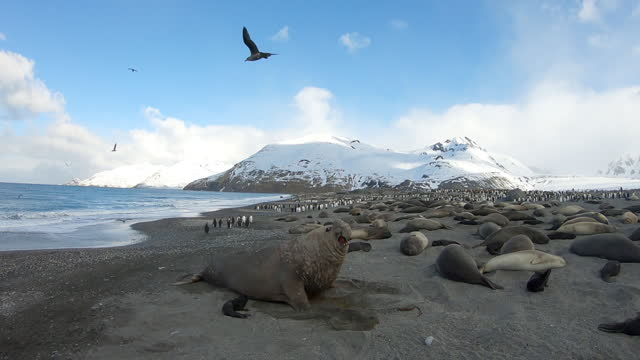 slomo ws male southern elephant seal backing away near to pup with colony in background - southern elephant seal stock videos & royalty-free footage