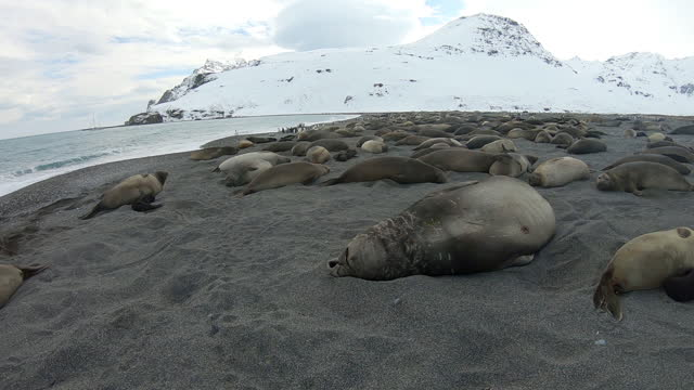 slomo ha ws male southern elephant seal breathing heavily and sleeping on beach with colony in background - southern elephant seal stock videos & royalty-free footage