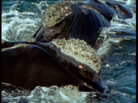 male southern right whale nuzzles female as he attempts to mate with her, patagonia - seepocke stock-videos und b-roll-filmmaterial
