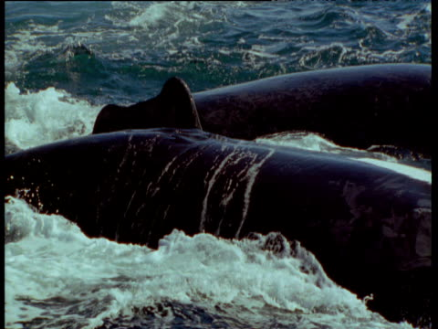 male southern right whale uses highly mobile penis in attempt to mate with female, patagonia - southern right whale stock videos & royalty-free footage