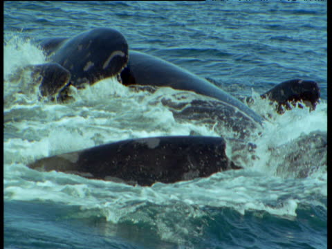 male southern right whale uses highly mobile penis in attempt to mate with female, patagonia - sidoflik bildbanksvideor och videomaterial från bakom kulisserna