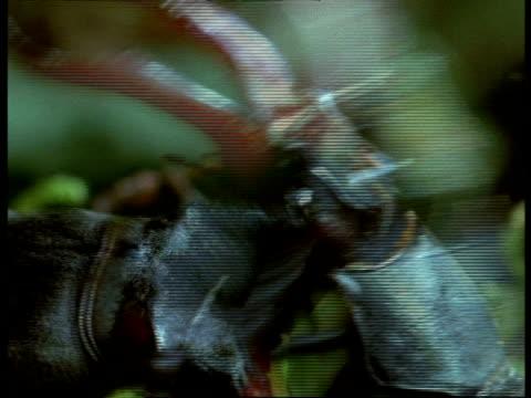 BCU 2 Male Stag Beetles (Lucanus cervus) fighting head to head, England