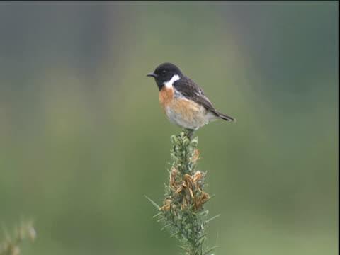 male stonechat calls from gorse bush then flies away - ニューバリー点の映像素材/bロール