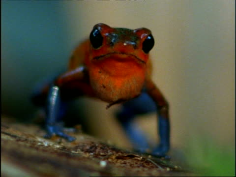CU Male Strawberry Poison-Dart Frog (Dendrobates pumilio) standing to camera, calling, Costa Rica