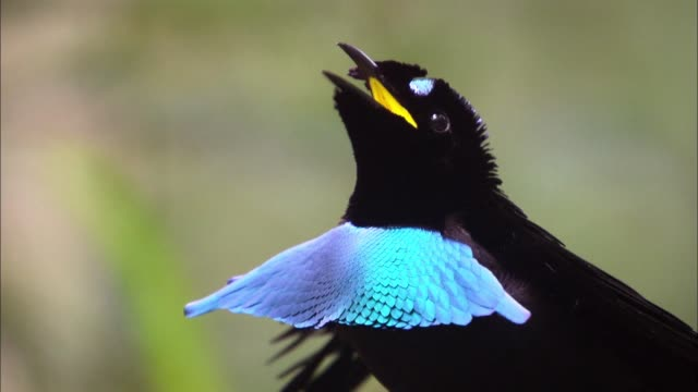 a male superb-bird-of-paradise calls the mate in papua new guinea - mating stock videos & royalty-free footage