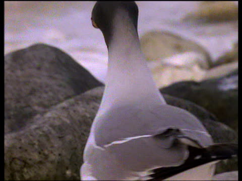 male swallow-tailed gull offers gift stone to his mate on rocky shoreline, venezuela - swallow tailed gull stock videos & royalty-free footage