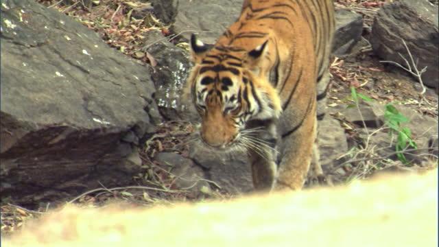 vídeos y material grabado en eventos de stock de a male tiger marking the tree around by him - medium shot - medium group of animals
