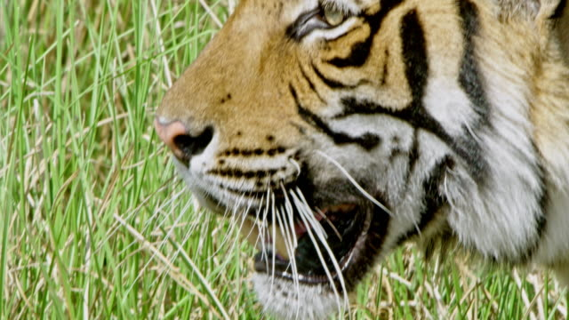 male tiger - animal behaviour stock videos & royalty-free footage