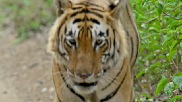 male tiger - animals in the wild stock videos & royalty-free footage