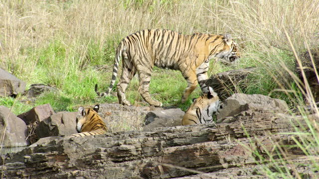 a male tiger walks away from sibling - male animal stock videos & royalty-free footage