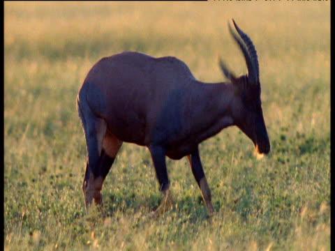 male topi antelope frolics excitedly during rut, then leaps away, masai mara - antelope stock videos & royalty-free footage