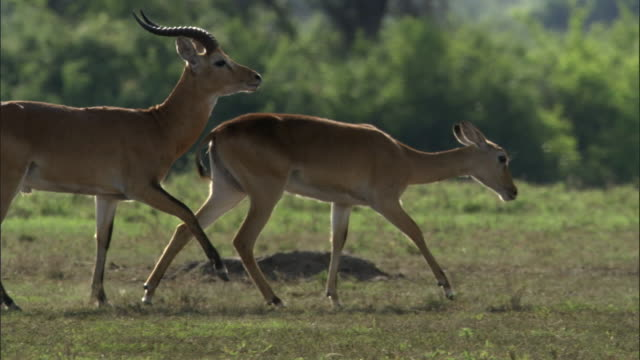 Male Ugandan kob antelope (Kobus kob thomasi) follows female, Uganda