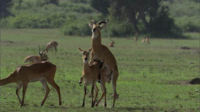 male ugandan kob antelope (kobus kob thomasi) mates with female, uganda - medium group of animals stock videos & royalty-free footage