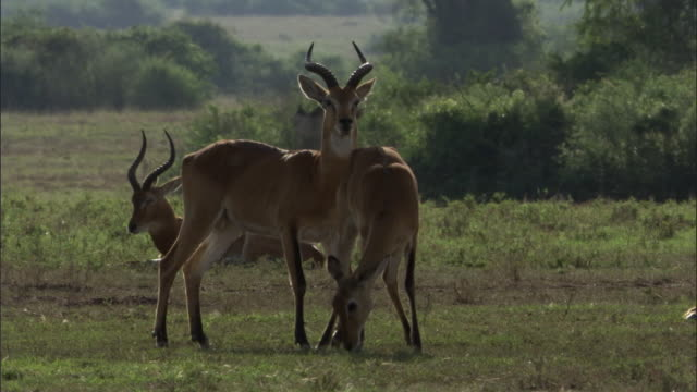 Male Ugandan kob antelope (Kobus kob thomasi) stands guard over female, Uganda