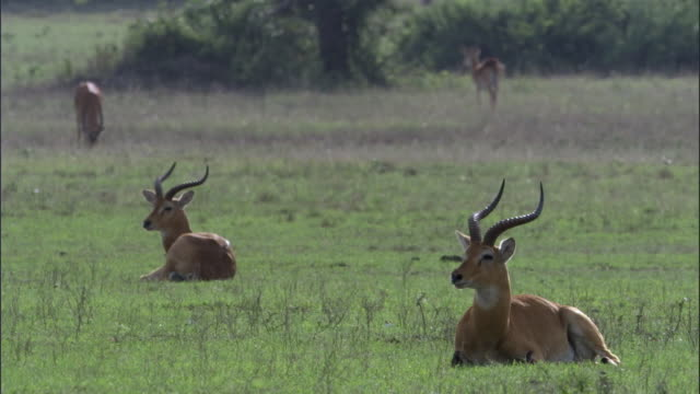 Male Ugandan kob antelopes (Kobus kob thomasi) rest, Uganda