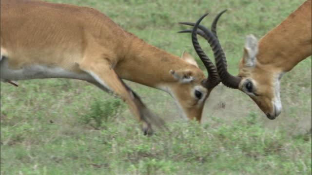 male ugandan kob antelopes (kobus kob thomasi) rut, uganda - antilope stock-videos und b-roll-filmmaterial