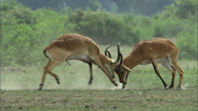 Male Ugandan kob antelopes (Kobus kob thomasi) rut, Uganda