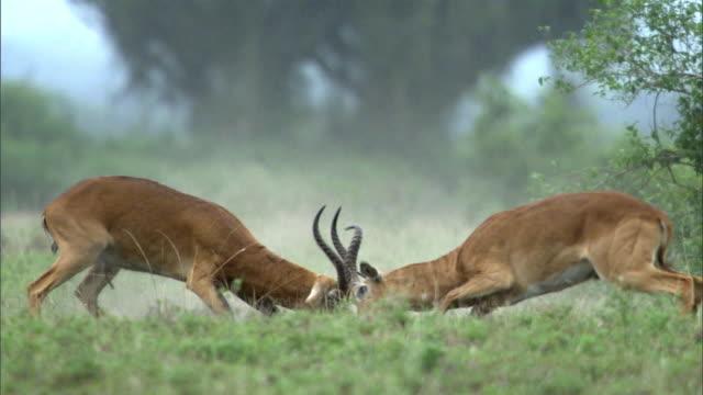 male ugandan kob antelopes (kobus kob thomasi) rut, uganda - 対立点の映像素材/bロール
