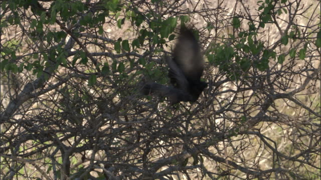 "stockvideo's en b-roll-footage met male vasa parrot (coracopsis vasa) flies from tree, madagascar - ""bbc natural history"""