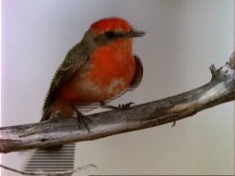 vídeos y material grabado en eventos de stock de cu male vermillion flycatcher on branch, usa - usa