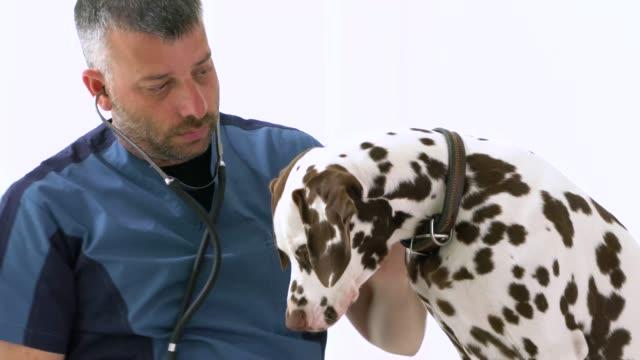 male vet examining dalmatian - animal hospital stock videos & royalty-free footage