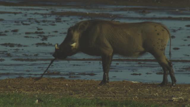 vídeos de stock, filmes e b-roll de ms male warthog chewing leg of flamingo pan to 2 warthogs squabbling over flamingo carcase  - javali africano